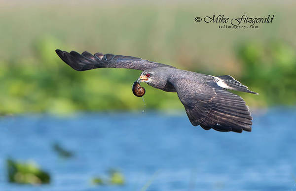 Photograph - Snail Kite Returning by Mike Fitzgerald