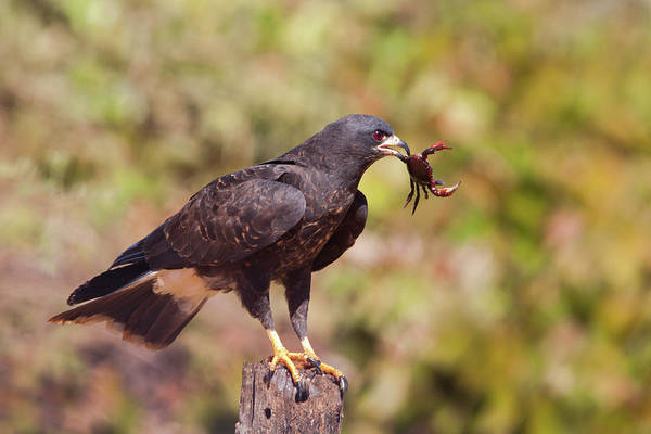Photograph - Snail Kite With Crab by Aivar Mikko