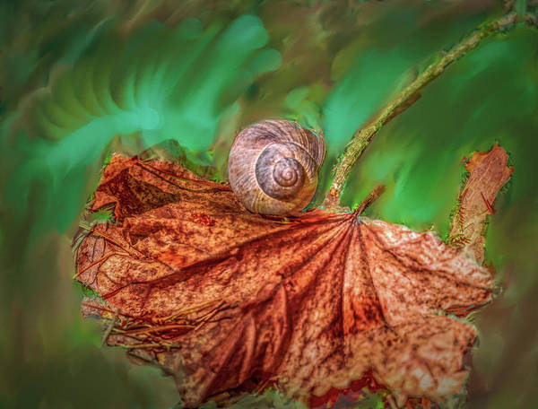 Photograph - Snail On Leaf #h2 by Leif Sohlman