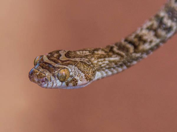 Photograph - Lyre Snake 4564-082517-1cr by Tam Ryan