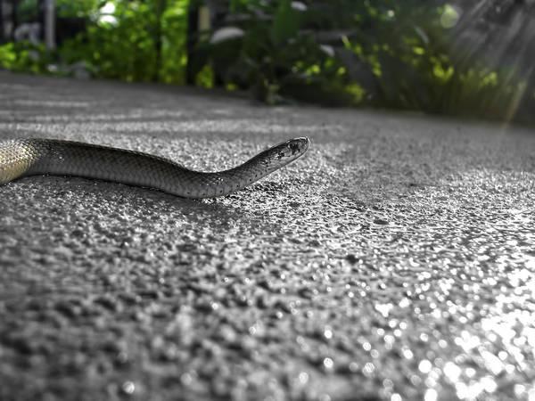 Snake In The Sun Art Print