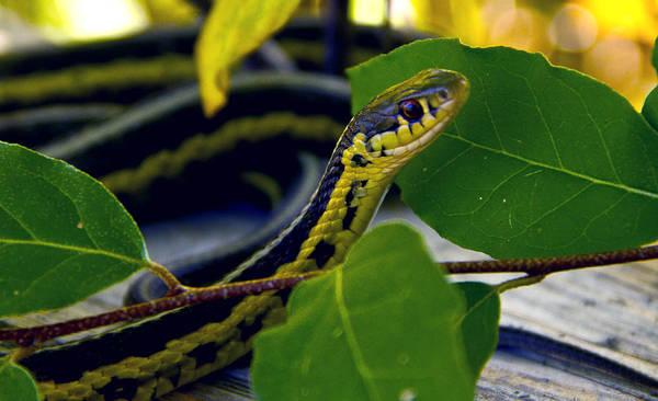 Photograph - Snake by Phil Koch