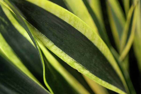 Photograph - Snake Plant by Crystal Hoeveler