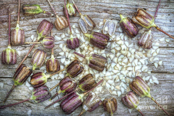 Fritillaria Photograph - Snakes Head Fritillary Seeds by Tim Gainey