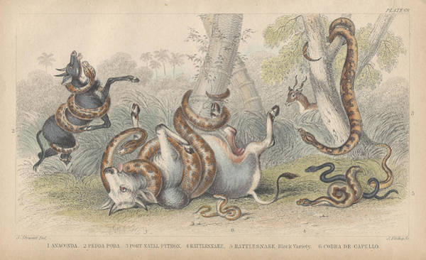 Wall Art - Drawing - Snakes by Dreyer Wildlife Print Collections