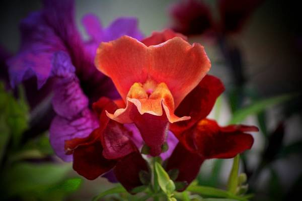 Snap Dragons Wall Art - Photograph - Snap by Marjorie Imbeau