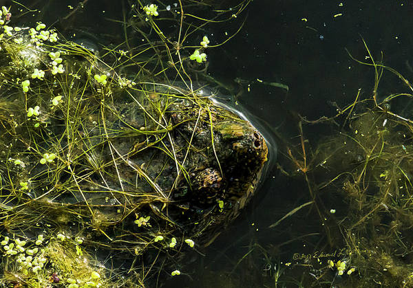 Photograph - Snapping Turtle Head by Edward Peterson