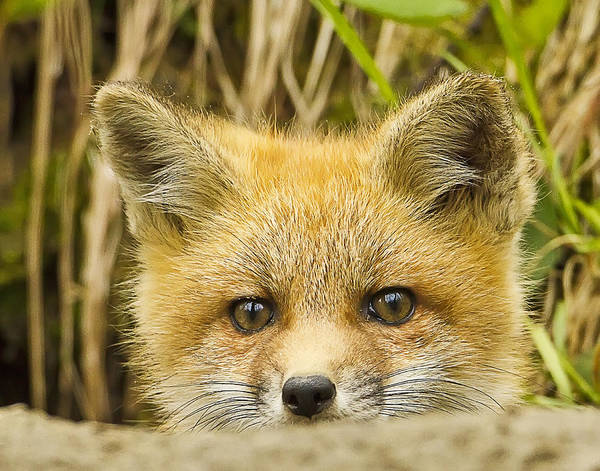 Photograph - Fox Kit Sneak Peak by John Vose