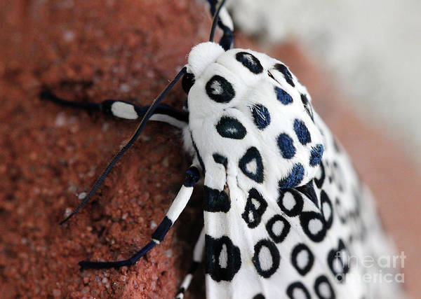 Photograph - Sneaking Up On Giant Leopard Moth by Karen Adams