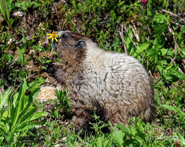 Marmot Photograph - Sniffing The Flowers by Mike Dawson