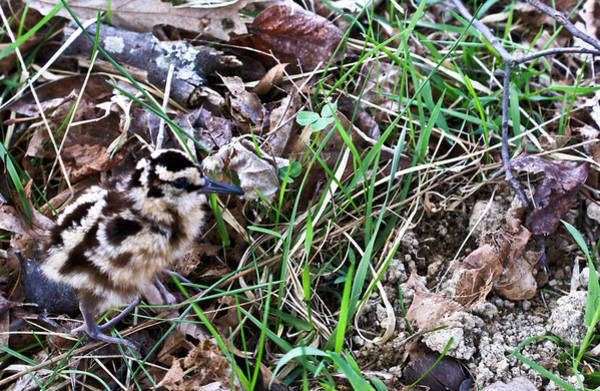 Scolopacidae Photograph - Snipe In Camouflage by Douglas Barnett
