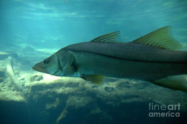 Photograph - Snook by Kathi Shotwell