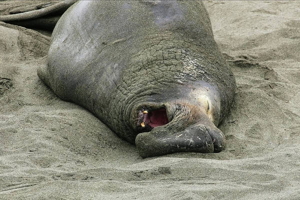 Photograph - Snoring Elephant Seal by Anthony Jones