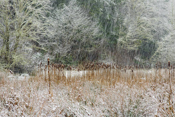 Photograph - Snow And Cattails by Robert Potts