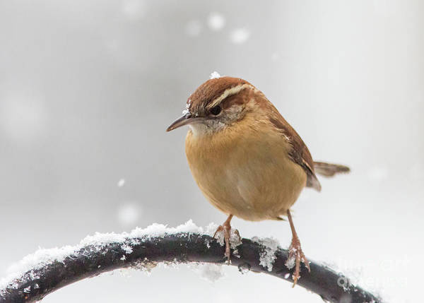 Photograph - Snow Bird by Kevin McCarthy