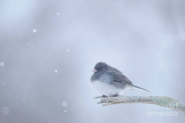Photograph - Snow Bird by Wanda Krack