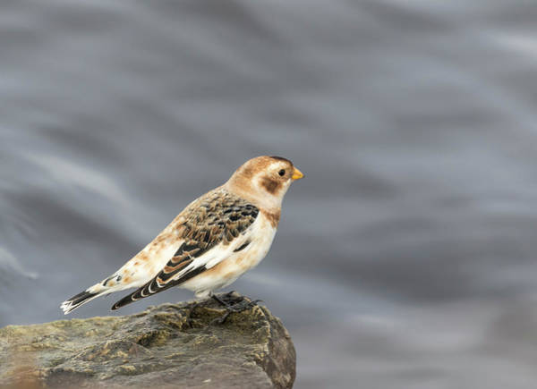 Wall Art - Photograph - Snow Bunting 2017-2 by Thomas Young