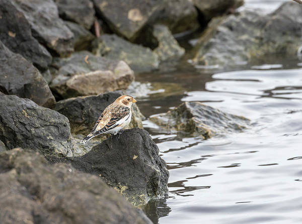 Wall Art - Photograph - Snow Bunting 2017-3 by Thomas Young