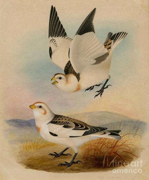 Painting - Snow Bunting by Celestial Images