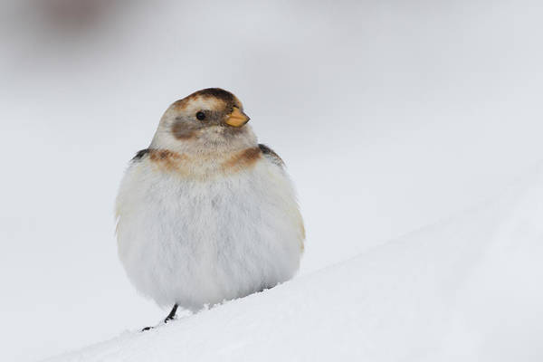 Photograph - Snow Bunting - Scottish Highlands by Karen Van Der Zijden