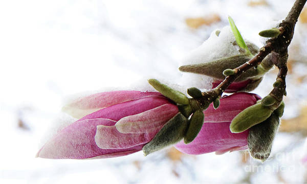 Photograph - Snow Capped Magnolia Blossoms by Andee Design