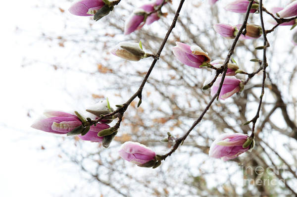 Photograph - Snow Capped Magnolia Tree Blossoms 2 by Andee Design