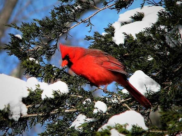 Photograph - Snow Cardinal by Ken Bradford