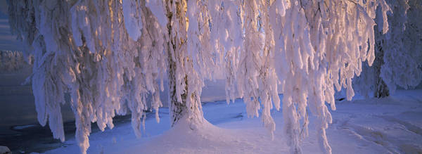 Birch River Photograph - Snow Covered Birch Tree, Vuoksi River by Panoramic Images