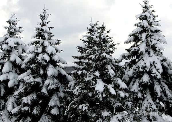 Photograph - Snow Covered Coniferous Trees In Western New York by Rose Santuci-Sofranko