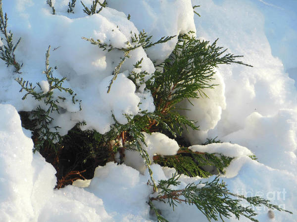 Photograph - Snow Covered Evergreen by Rockin Docks Deluxephotos