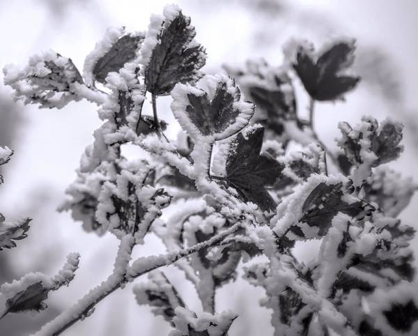 Photograph - Snow Covered Leaves Black And White by Dan Sproul