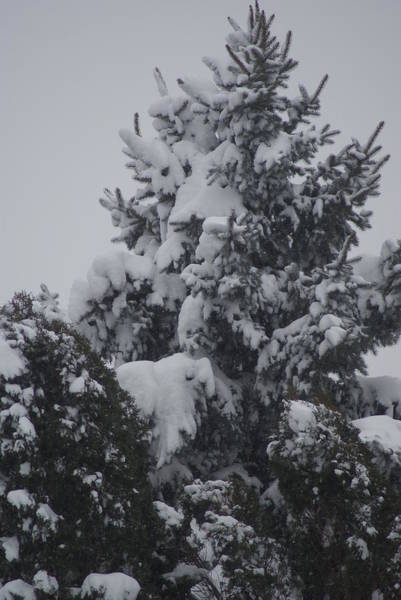 Wall Art - Photograph - Snow Covered Pine by Heather Green
