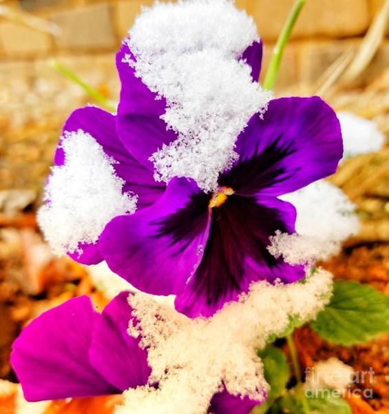 Photograph - Snow Covered Purple Pansy by Rachel Hannah