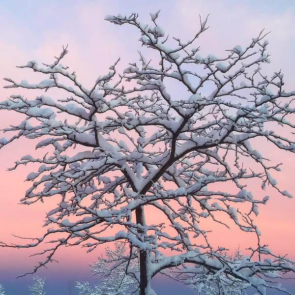 Photograph - Snow Covered Tree Sunset 2 by Joann Vitali