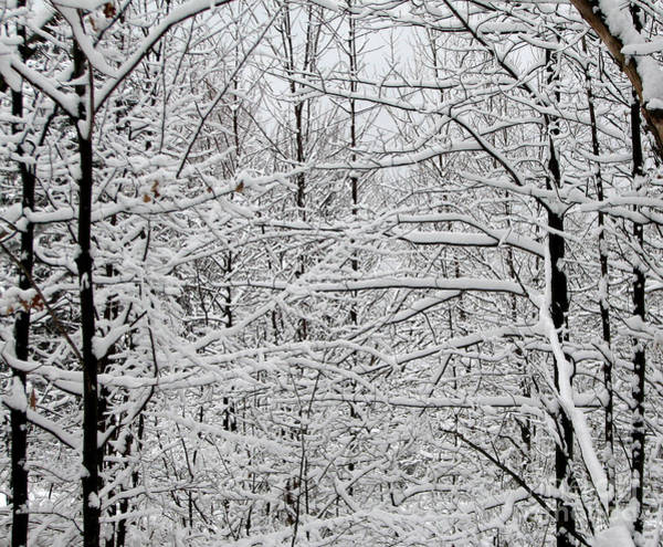 Photograph - Snow Covered Trees In Western New York 1 by Rose Santuci-Sofranko