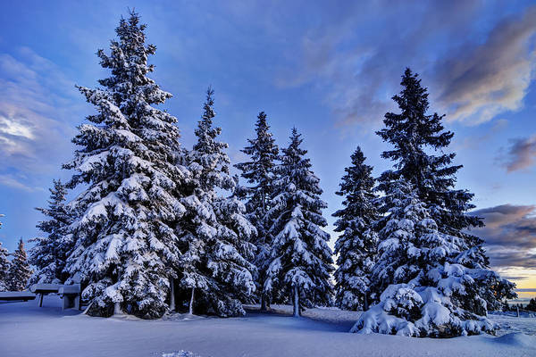 Photograph - Snow Covered Trees by Ivan Slosar