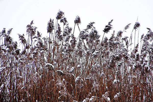 Wall Art - Photograph - Snow Covered Wild Grass by Debbie Oppermann