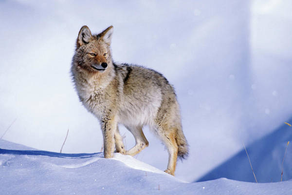 Photograph - Snow Coyote Pose by Mark Miller