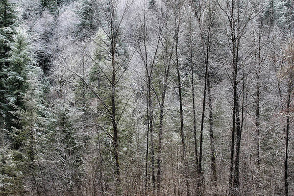Photograph - Snow Dusted Trees, No. 1 by Belinda Greb