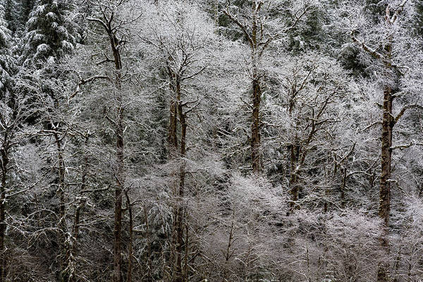Photograph - Snow Dusted Trees, No. 2 by Belinda Greb