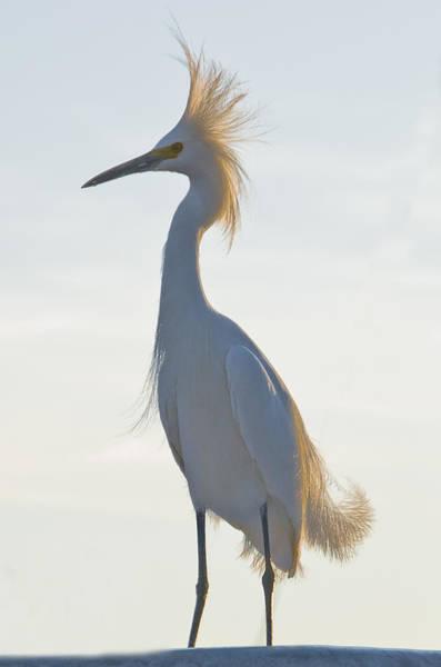 Heron Mixed Media - Snow Egret 1 by Robert OP Parrish