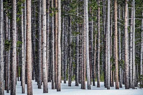 Photograph - Snow Flurries In The Forest - Yellowstone by Stuart Litoff