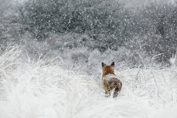 Wall Art - Photograph - Snow Fox Series - The End....and A New Beginning by Roeselien Raimond