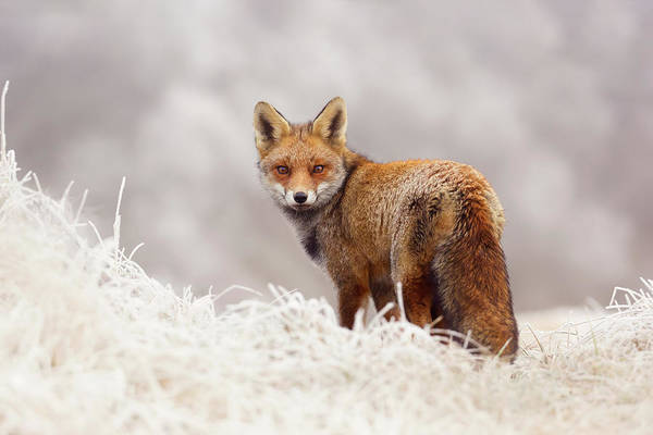 Wall Art - Photograph - Snow Fox Series - The Fox On The Hill by Roeselien Raimond