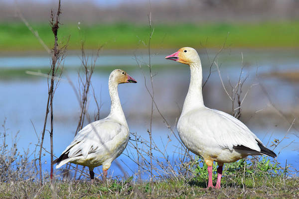 Wall Art - Photograph - Snow Geese - 1 by Alan C Wade