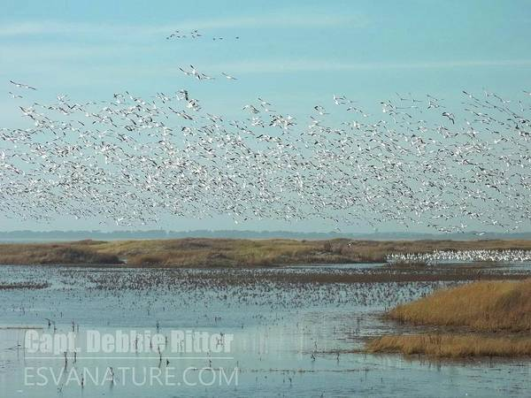 Photograph - Snow Geese 100_0769 by Captain Debbie Ritter