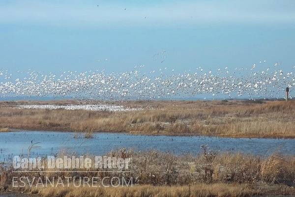 Photograph - Snow Geese 100_0772 by Captain Debbie Ritter