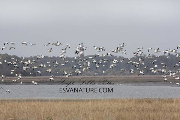 Photograph - Snow Geese 5792 by Captain Debbie Ritter
