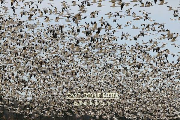 Photograph - Snow Geese 5824 by Captain Debbie Ritter