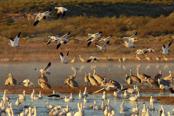 Photograph - Snow Geese And Sandhills by Leda Robertson